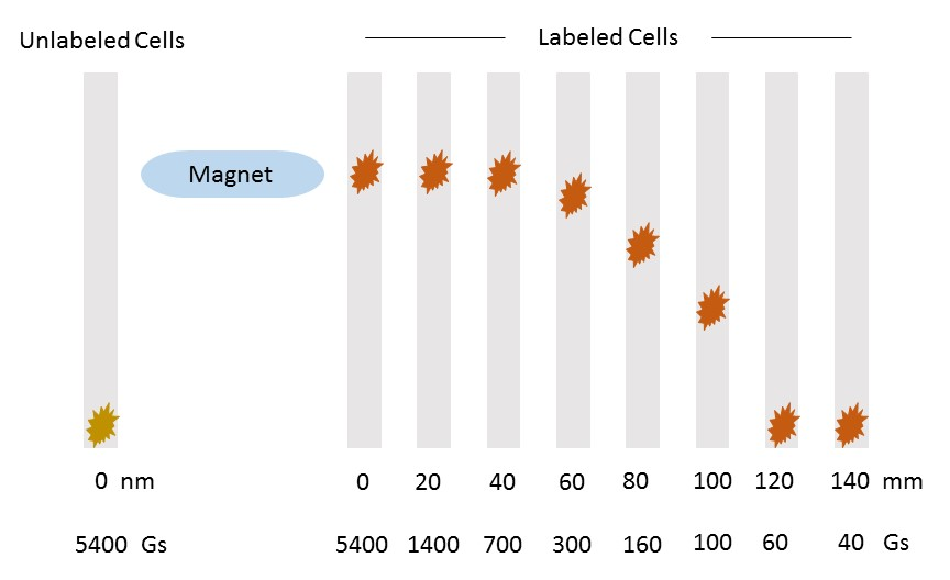 Magnetic targeting of therapeutic cells